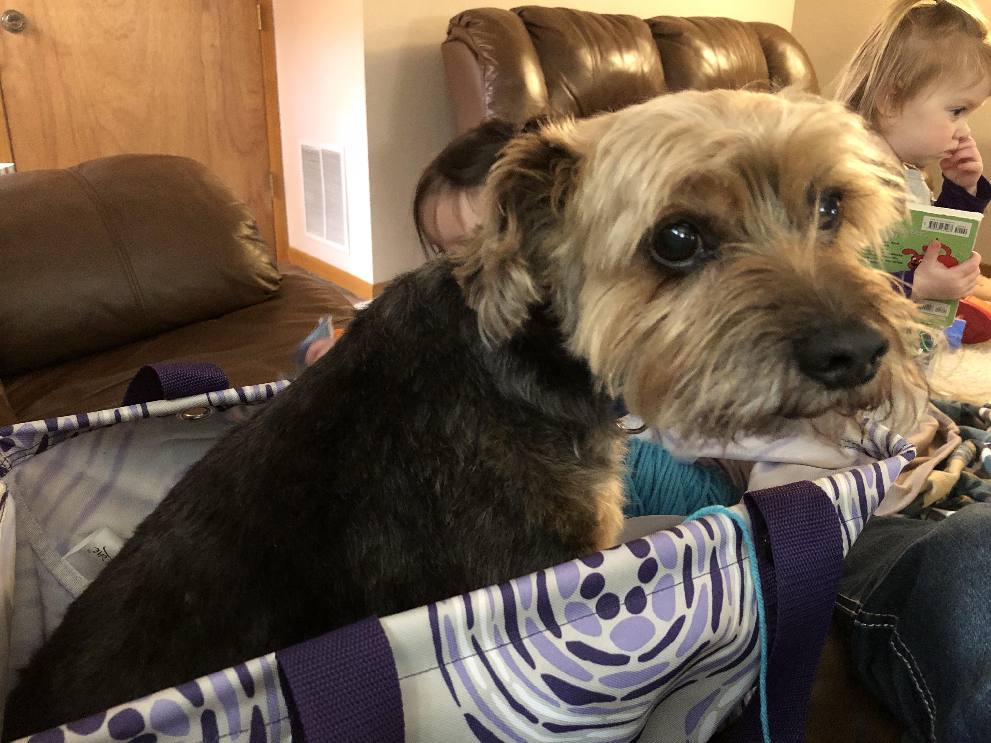 Heath is a Yarn Dog! He climbed in to snuggle my yarn!